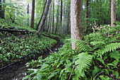 After rain in a deciduous forest. Ramson blooming in deciduous forest at a small brook - Bavaria/Germany