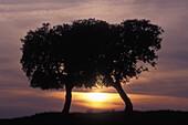 Two Stone Oaks (Quercus ilex) before sunset. Extremadura, Spain.