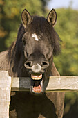 Portrait of a horse, which is showing his teeth. North Rhine-Westphalia. Germany