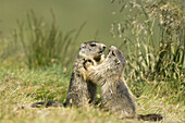 Two young marmots fighting playful (Marmota marmota). Hohe Tauern, Austria.