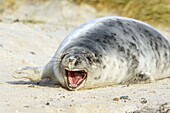 A tired young seal in the dunes (Halichoerus grypus). Helgoland, Germany