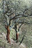 Cork oak, Alcornoque, (Quercus suber). Sierra Espadán. Castellón. Spain.