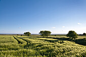 Grain field, Foehr island, North Frisian Islands, Schleswig-Holstein, Germany