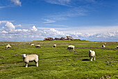 Sheep and artificial dwelling hill, Groede Hallig, North Frisian Islands, Schleswig-Holstein, Germany