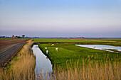 Grazing sheep, Pellworm Island, North Frisian Islands, Schleswig-Holstein, Germany
