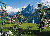 The steeple of Saint Valentine's church behind branches with apple blossom, Siusi, South Tyrol, Italy, Europe