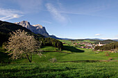 Blooming tree in front of a village in a valley, Kastelruth, South Tyrol, Italy, Europe