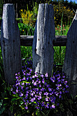 Blue flowers in front of a wooden fence, South Tyrol, Italy, Europe