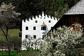 Blooming tree in front of an old farm, Kastelruth, South Tyrol, Italy, Europe