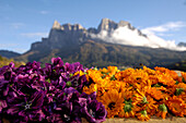 Calendula blossoms, Medicinal herbs, plants, organic farming, herbal farm, Pflegerhof Martha Mulser, Seis am Schlern, Schlern, South Tyrol, Italy