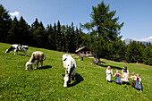 Cows on an Alpine meadow, children playing on the grass, Agriculture, Farm holidays, South Tyrol, Italy
