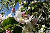 Apple blossom in Spring with honey bee, Apple tree, Fruit growing, Agriculture, South Tyrol, Italy