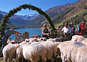 Flock of sheep with shepherds on an alpine pasture, Mountain landscape, Vernagt reservoir, Schnalstal, Oetztaler Alps, South Tyrol, Italy