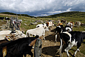 Cows in an alpine pasture, Livestock, Rittner Horn, South Tyrol, Italy