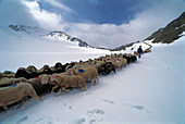 Flock of sheep with shepherd in snow, Mountain landscape, Schnalstal, Oetztaler Alps, South Tyrol, Italy