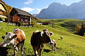 Farmhouse with calves, Mountain landscape, Wengen, La Val, Abteital, South Tyrol, Italy
