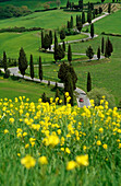 Yellow flowers in front of serpentine road with cypresses, Val d´Orcia, Tuscany, Italy, Europe