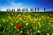 Flower meadow with poppy in front of cypress alley, Val d´Orcia, Tuscany, Italy, Europe