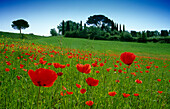 Meadow with poppies under blue sky, Val d'Orcia, Tuscany, Italy, Europe