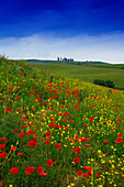Flower meadow with poppies, Val d´Orcia, Tuscany, Italy, Europe