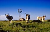 Maremma bull out at feed in the sunlight, Maremma, Tuscany, Italy, Europe