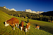 Cows grazing in a meadow, View towards Cima Catinaccio, Dolomite Alps, South Tyrol, Italy