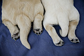 Animal, Animals, Color, Colour, Contemporary, Dog, Dogs, Domestic animal, Domestic animals, Indoor, Indoors, Innocence, Innocent, Interior, Mammal, Mammals, Pair, Paw, Paws, Pet, Pets, Pup, Puppies, Puppy, Pups, Two, Two animals, Whelp, Whelps, S43-686256