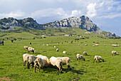 Sheep, parque natural del Gorbea, Vizcaya. Basque Country. Spain