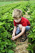 A caucasian boy, 5_10 years old, picks strawberries in a field.