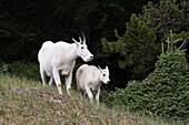 Adult and young mountain goats (Oreamnos americanus) on a hill in Jasper National Park, British Columbia, Canada