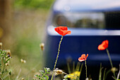Botany, Color, Colour, Country, Countryside, Daytime, Delicate, Ephemeral, Exterior, Flower, Flowers, Light, Lightness, Outdoor, Outdoors, Outside, Plant, Plants, Poppies, Poppy, Selective focus, Wild flower, Wildflower, Wildflowers, S55-649874, agefotost