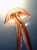 Animal, Animals, Close up, Close-up, Closeup, Color, Colour, Fauna, Invertebrate, Invertebrates, Jellyfish, Marine life, Nature, One, One animal, Sea, Underwater, Underwater life, Water, Zoology, S60-649882, agefotostock