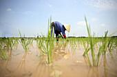 Rice field. Hanoi. Vietnam.