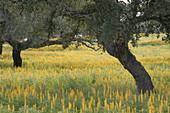 Pasture. Quercus ilex. Monfrague Natural Park. Caceres province. Extremadura. Spain