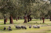 Iberian pigs. Monfrague Natural Park. Caceres province. Extremadura. Spain
