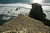 Gannet (Sula serrator) colony in New Zealand
