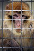Macaco of Gibraltar (Barbary Macaque) in the Safari Aitana. Penáguila. Alicante. Comunidad Valenciana. Spain. Europe.