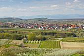 spring, cherry-blossom near Königschaffhausen, Kaiserstuhl, Vosges, Baden-Württemberg, Germany, Europe