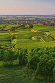 Weinanbau bei Königschaffhausen, Kaiserstuhl, Baden-Württemberg, Deutschland