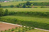 Weinanbau bei Kiechlinsbergen , Wanderer , Frühlingstag , Kaiserstuhl , Baden-Württemberg , Deutschland , Europa