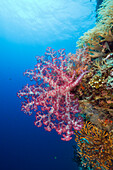 Red Soft Coral, Dendronephthya, Siaes Wall, Micronesia, Palau