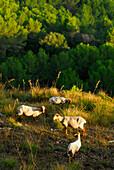Sheep grazing on Monte Toro, Minorca, Balearic Islands, Spain