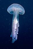 Eastern Atlantic Galicia Spain Pink jellyfish Pelagia nocticula