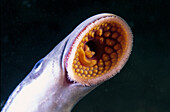 Freshwater Rivers Galicia Spain Young Gray lamprey Petromyzon marinus