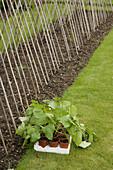 Runner Bean Plants ready for planting out Norfolk June