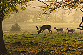 Fallow Deer Young Buck & Does Cervus dama
