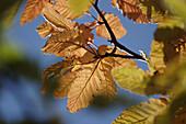 Maple leaf (Acer platinoides) in autumn. Härnösand, Västernorrland, Norrland, Sweden, Scandinavia, Europe