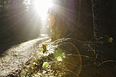 Dew is glittering on spiderwebs on a small birch sapling (Betula sp.), the sun is breaking through the mist. Forest path, Västernorrland, Norrland, Sweden, Scandinavia, Europe