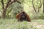 Orangutan, primate, monkey, male