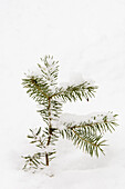 White spruce (Picea glauca) seedling branches with fresh snow